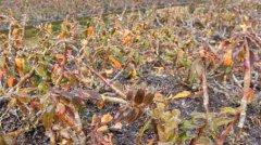 种植的铁皮石斛冬天会冻