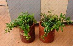 刚种的盆栽铁皮石斛苗怎么浇水?