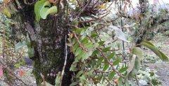 铁皮石斛生长在云南哪里