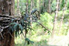 松树皮能种铁皮石斛吗?