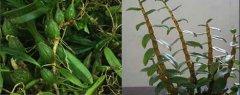 铁皮石斛和石橄榄的区别