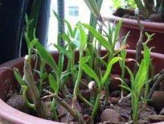 铁皮石斛扦插繁殖方法