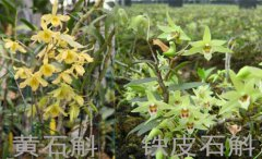 铁皮石斛与黄石斛的区别