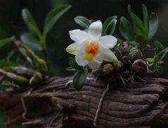 家庭盆栽石斛兰的日常养