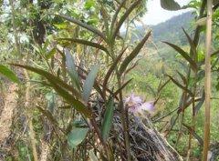 紫皮石斛的功效与作用及
