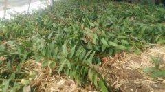 广西桂林铁皮石斛种植基