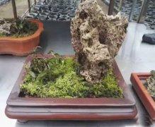 铁皮石斛盆景