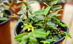 石斛盆栽冬季日常养护与