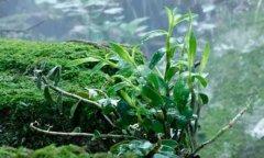 铁皮石斛盆栽的种植方法