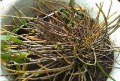 西藏有野生的铁皮石斛吗