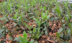 铁皮石斛施用什么肥料?