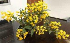 鼓槌石斛盆栽家庭种植与日常管理