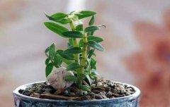 盆栽石斛冬天怎样养护