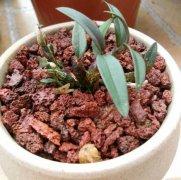 铁皮石斛盆栽种植方法及四季养护