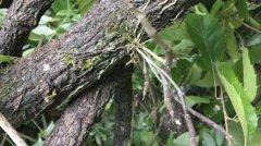 野生石斛和种植石斛的区别
