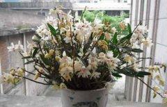 铁皮石斛盆栽能放在卧室养吗?