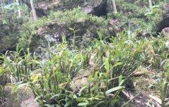 赤水长期镇金钗石斛种植