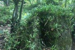 野生金钗石斛生长环境及气候