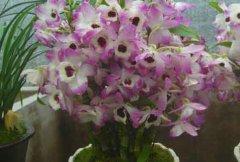 金钗石斛如何在家里养殖