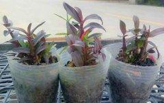 紫皮石斛可以作为食品吗