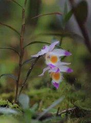 紫皮石斛花,淡紫的情绪,伴着雨