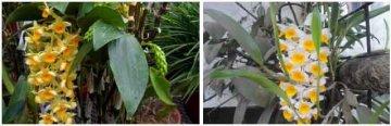 密花石斛与球花石斛对比图片