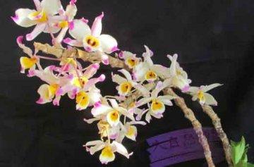 大苞鞘石斛家庭盆栽种植