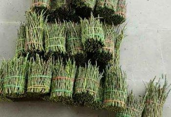 云南铁皮石斛鲜条价格多少钱一斤