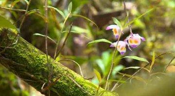 紫皮石斛是野生的吗?