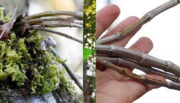 紫皮石斛有什么作用,长期吃有什