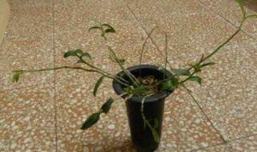 石斛兰冬天枯萎快死了,这里有原