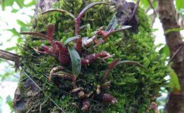 怎么用苔藓种植石斛,用苔