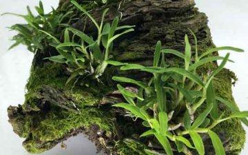 石斛兰专用肥磷酸二氢钾