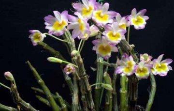 春夏家庭养殖石斛的几点注意事项