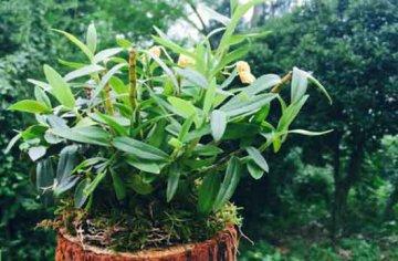 石斛兰盆栽对光照的误区
