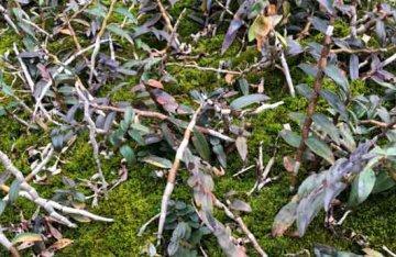 铁皮石斛含激素吗,石斛种植时会