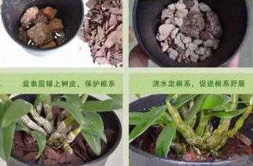 铁皮石斛发芽了怎么栽种,可以家