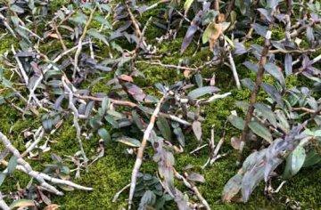 黑节草是铁皮石斛吗,有什么功效