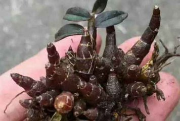 红珠虫石斛食用功效比起