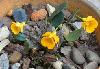 小黄花石斛(小龟背石斛)养殖与图
