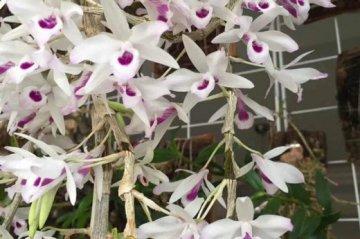 紫菀石斛家里好养吗,紫菀石斛盆