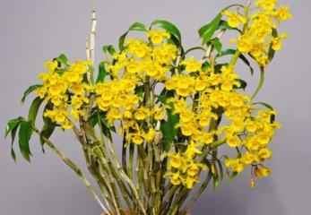 苏瓣石斛盆栽养殖与图片鉴赏