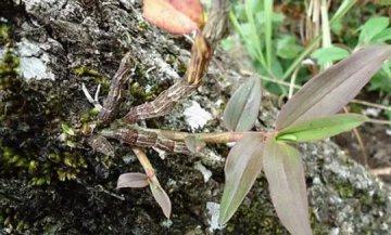 紫皮石斛种植方法和注意事项