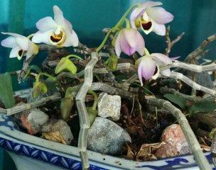 曲茎石斛的药用价值与图片鉴赏