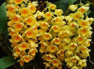 密花石斛的药用价值,密花