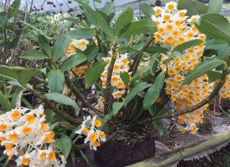 球花石斛的家庭养殖及图片鉴赏
