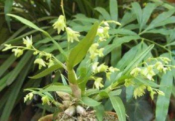 勐海石斛家庭养殖与图片鉴赏