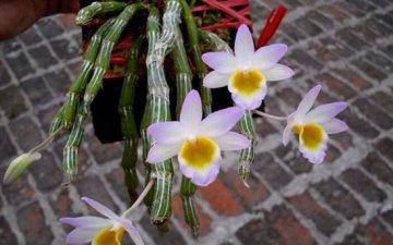 玫瑰石斛家庭种植及图片鉴赏