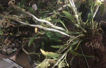 铁皮石斛掉了叶子枝条可以剪掉吗