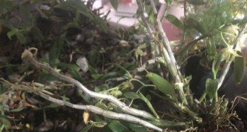 铁皮石斛冬天掉叶子吗